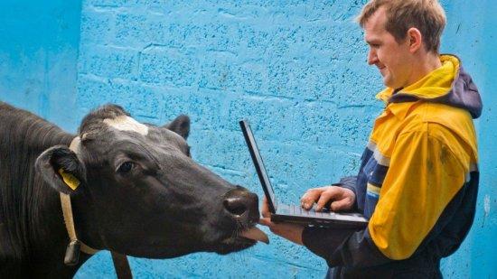 smart_collar_cow